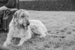 Seamus the Irish Wolfhound