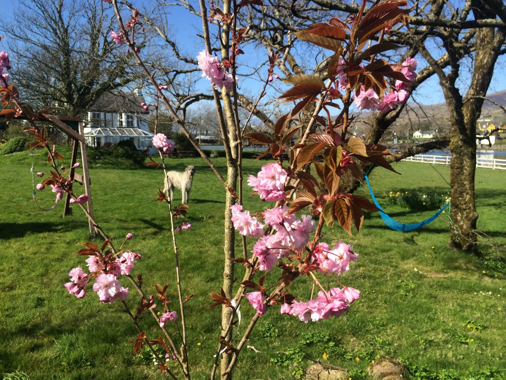 Cherry blossoms at Milltown House Hotel on Dingle Harbour