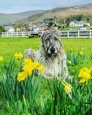 seamus-the-irish-wolfhound-milltown-house-dingle-kerry-ireland