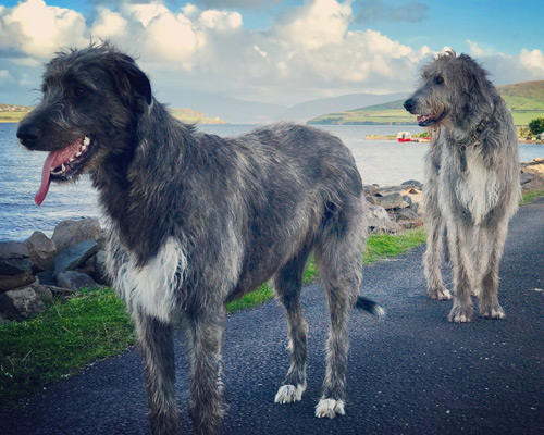 irish-wolfhounds-milltown-house-dingle-kerry-ireland-
