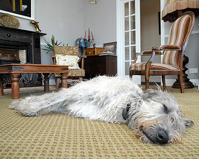 seamus-the-irish-wolfhound-milltown-house-dingle